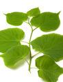 Spring sprig of linden - PhotoDune Item for Sale