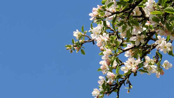 Apple Tree Flower Bright White Illuminated