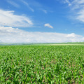 green corn field and blue sky - PhotoDune Item for Sale
