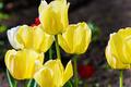 Yellow tulips - PhotoDune Item for Sale