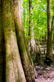 cypress forest and swamp of Congaree National Park in South Carolina - PhotoDune Item for Sale
