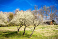 white cherry blossoms blooming in spring - PhotoDune Item for Sale