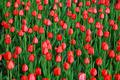Beautiful red tulips - PhotoDune Item for Sale