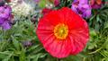 Beautiful red poppy - PhotoDune Item for Sale