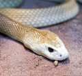 taipan snake - PhotoDune Item for Sale