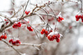 Red rowan tree in winter forest - PhotoDune Item for Sale