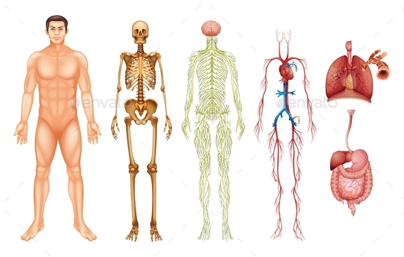 GraphicRiver Human Body Systems 11516285