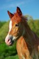 Portrait of foal. - PhotoDune Item for Sale