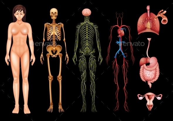 GraphicRiver Human Body Systems 11521294