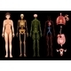 Human Body Systems - GraphicRiver Item for Sale