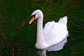 Swan white in the pond - PhotoDune Item for Sale