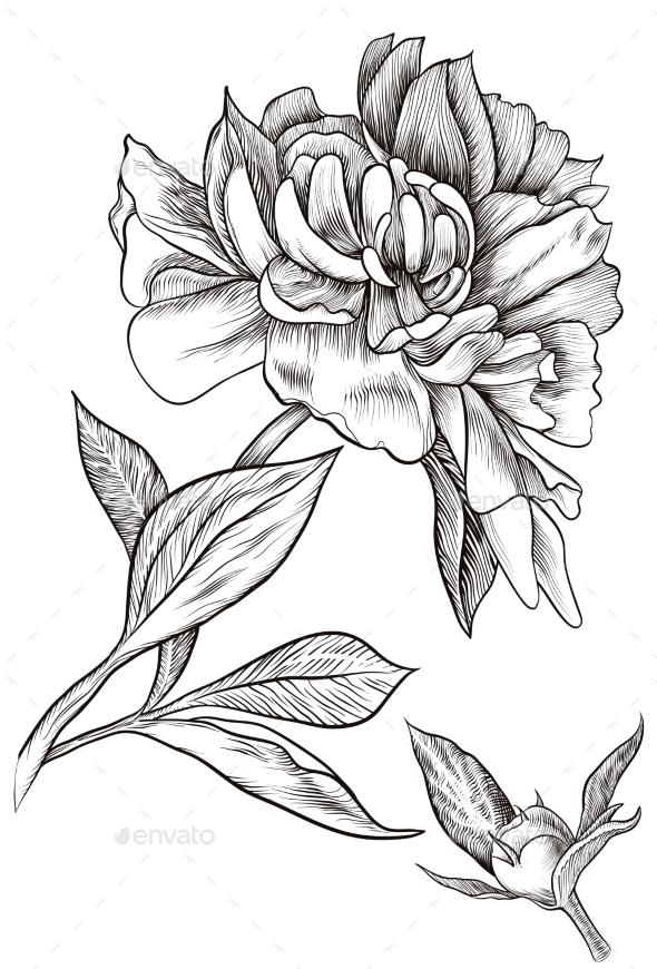 GraphicRiver Peony Bud Blossomed 11522973