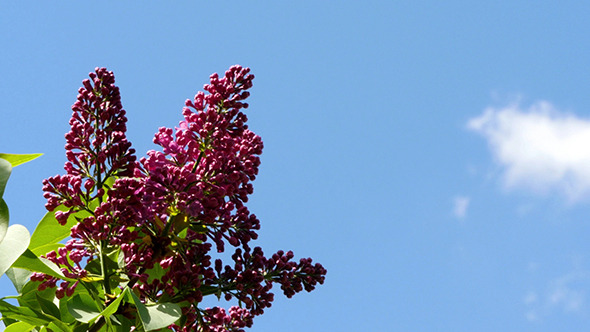Lilac Flowers Against The Blue Sky