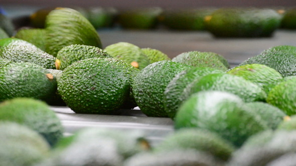 Avocado Fruit Rolling in Line Industrial