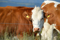 Alpine herd of cows at summer green field. - PhotoDune Item for Sale