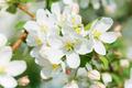 Blooming apple tree - PhotoDune Item for Sale