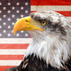 North American bald eagle - PhotoDune Item for Sale