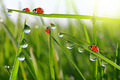 dew on green grass and ladybirds  - PhotoDune Item for Sale