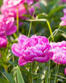 Pink peony - PhotoDune Item for Sale