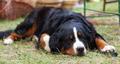 Bernese Mountain Dog - PhotoDune Item for Sale