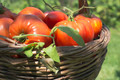 Tomatoes in wooden basket - PhotoDune Item for Sale