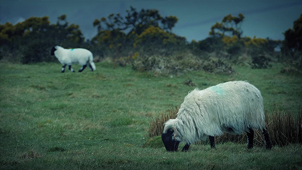 VideoHive Sheep Grazing On Rugged Windy Hilltop 11532233