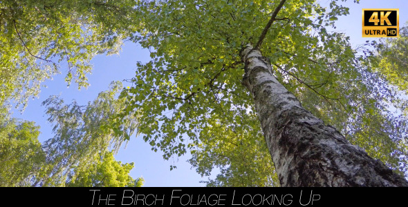 The Birch Foliage Looking Up 2
