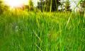 Sunrise in the Grass