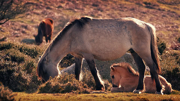 Foal Lying Next To Mother Grazing At Sunset