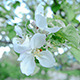 Apple Flowers 1 - VideoHive Item for Sale