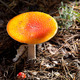 Amanita muscaria mushrooms in dark forest - PhotoDune Item for Sale