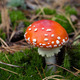 Red amanita muscaria mushroom in moss - PhotoDune Item for Sale