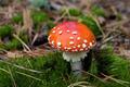Red amanita muscaria mushroom in moss - PhotoDune Item for Sale
