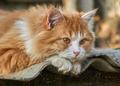 Ginger kitten lying on slate close up - PhotoDune Item for Sale