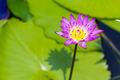 Beautiful lotus flower blooming in pond - PhotoDune Item for Sale