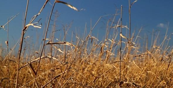 Hay in Wind 01