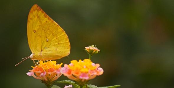 Yellow Butterfly Flower