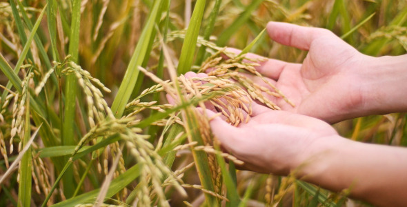 Man Hands With Rice Field