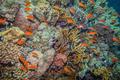 school of anthias - sea goldie - PhotoDune Item for Sale