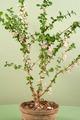 Barbados cherry (Malpighia oxycocca) flowers - PhotoDune Item for Sale