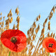 Oats field with red poppy flowers  - PhotoDune Item for Sale