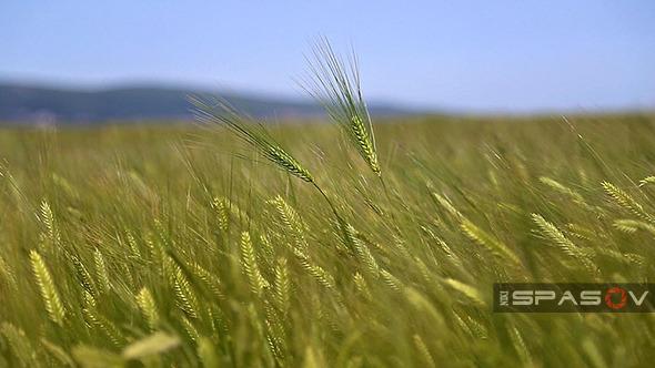 Ears of Wheat in Field of Wheat