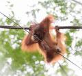 Baby orangutang in a funny pose - PhotoDune Item for Sale