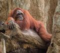 Adult orangutan lying deep in thoughts - PhotoDune Item for Sale