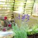 Lavender in patio - PhotoDune Item for Sale