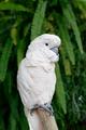 Cacatua moluccensis - PhotoDune Item for Sale