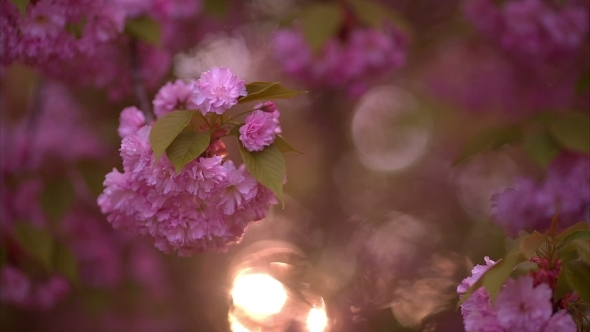 Blooming Tree In Spring With Pink Flowers