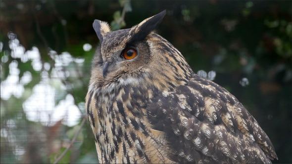 A Bubo Bubo or Eurasian Eagle-Owl