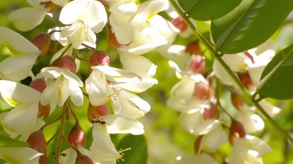 VideoHive Acacia Flower 11571781