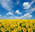 sunflowers field - PhotoDune Item for Sale